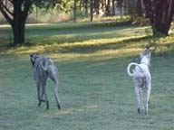 Two Greyhounds walking away from camera toward sunlit trees on a green lawn