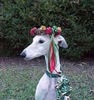 Giselle, fawn and white spotted Greyhound, looking regal, wearing a colorful Christmas wreath on her head.